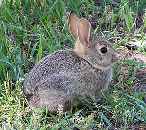 English: A rabbit (A cottontail, I think) posi...