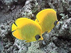 黃色蝴蝶魚 - 維基百科。自由的百科全書