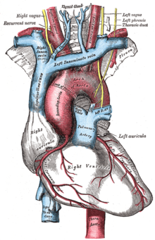 vagus nerve diagram cat 5 wall jack wiring recurrent laryngeal wikipedia the nerves and major blood vessels