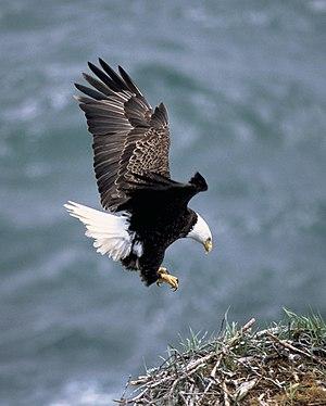 Haliaeetus leucocephalus (bald eagle) landing ...