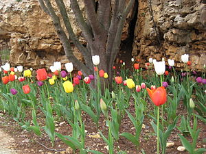 English: Har Adar, tulip patch