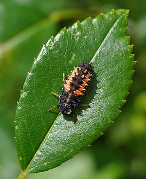 English: Larva of an Asian Lady Beetle (Harmon...