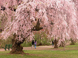 Cherry blossoms in Branch Brook Park, Newark, ...