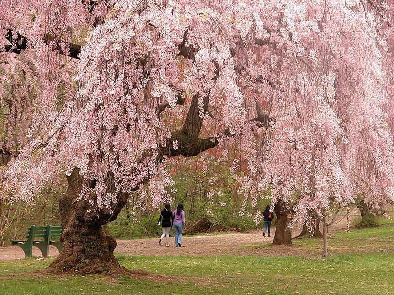 File:Newark cherry blossoms.jpg