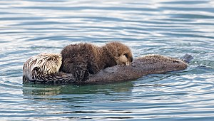 Sea otter (Enhydra lutris) mother with nursing...