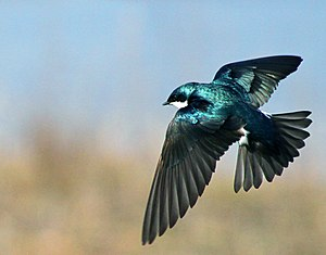 Tachycineta bicolor English: A Tree Swallow fl...