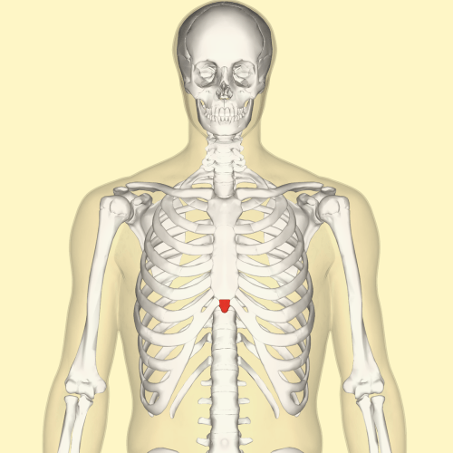 small resolution of diagram part of sternum