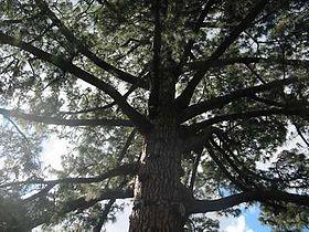 Pinus Canariensis Wikipedia