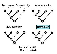 convergent vs divergent evolution examples