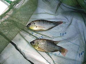 immature Mozambique Tilapia caught in Endeavou...