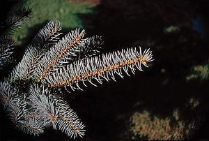 Blue Spruce. Branch.