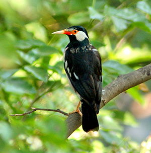 Pied Starling in India