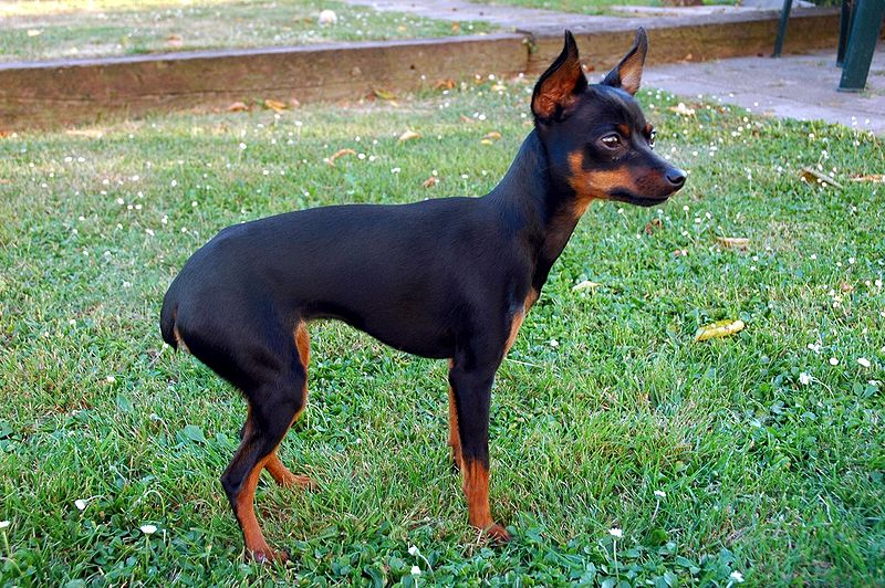 Awesomely Unique Tailless And Short Tailed Dog Breeds