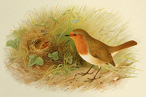 English: An illustration of a European Robins ...