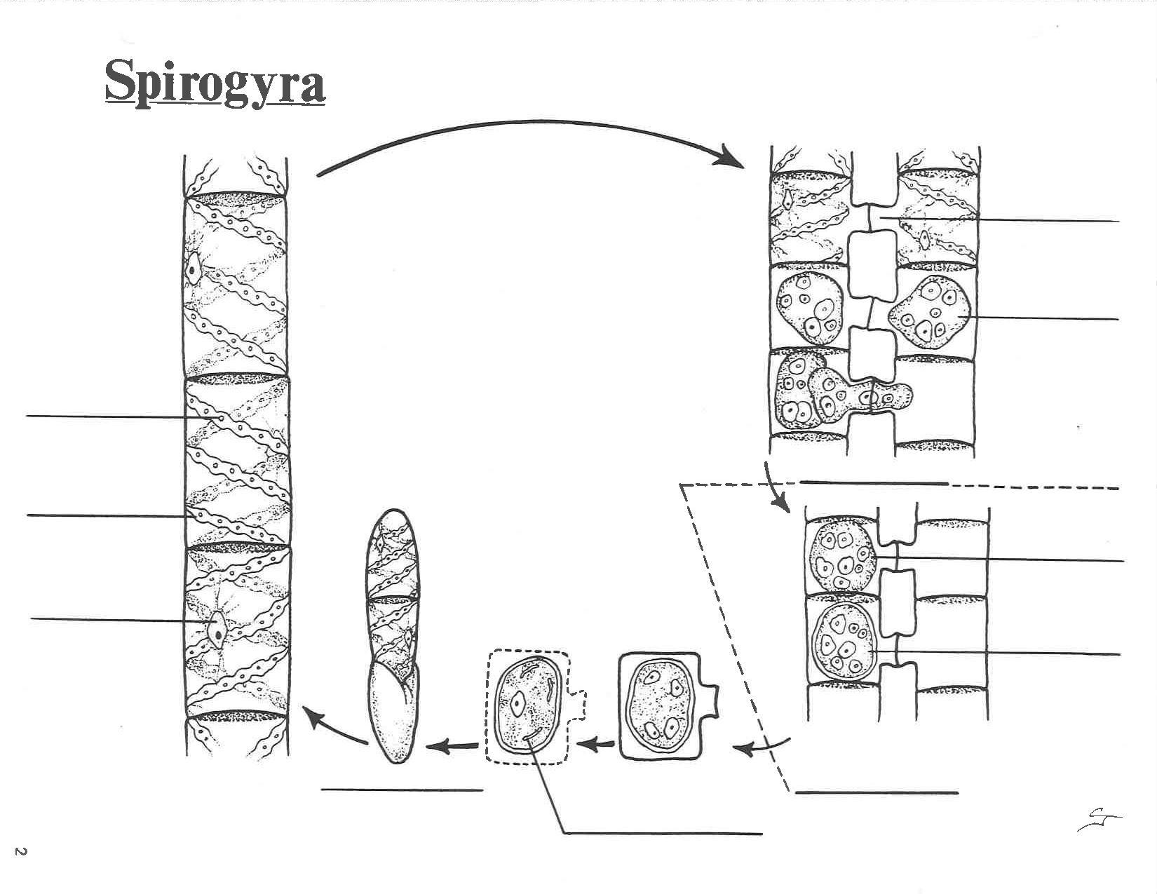 File Spirogyra Life Cycle