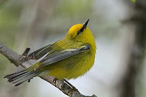 Blue-winged Warbler (Vermivora pinus)