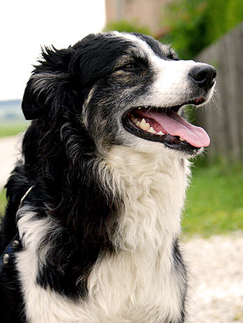 Border Collie (six years old)