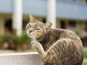 English: Singapore - Cat scratching
