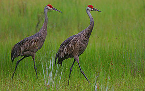 Rain Cranes! Image taken in Central Florida, U...