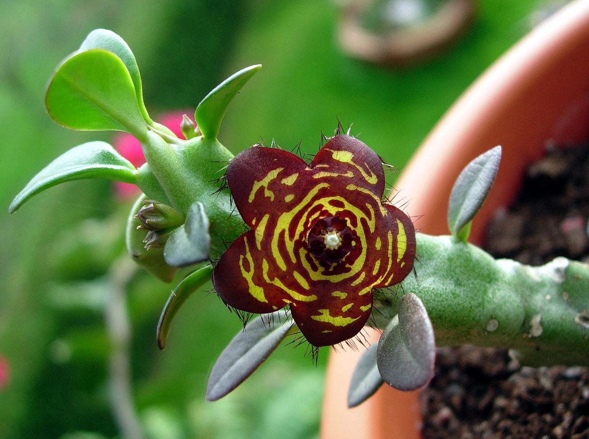 Frerea indica  Wikispecies