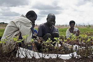 Groundnut harvesting at an agricultural resear...