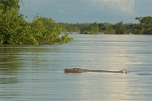 Kratié in Cambodia Irrawaddy Dolphin