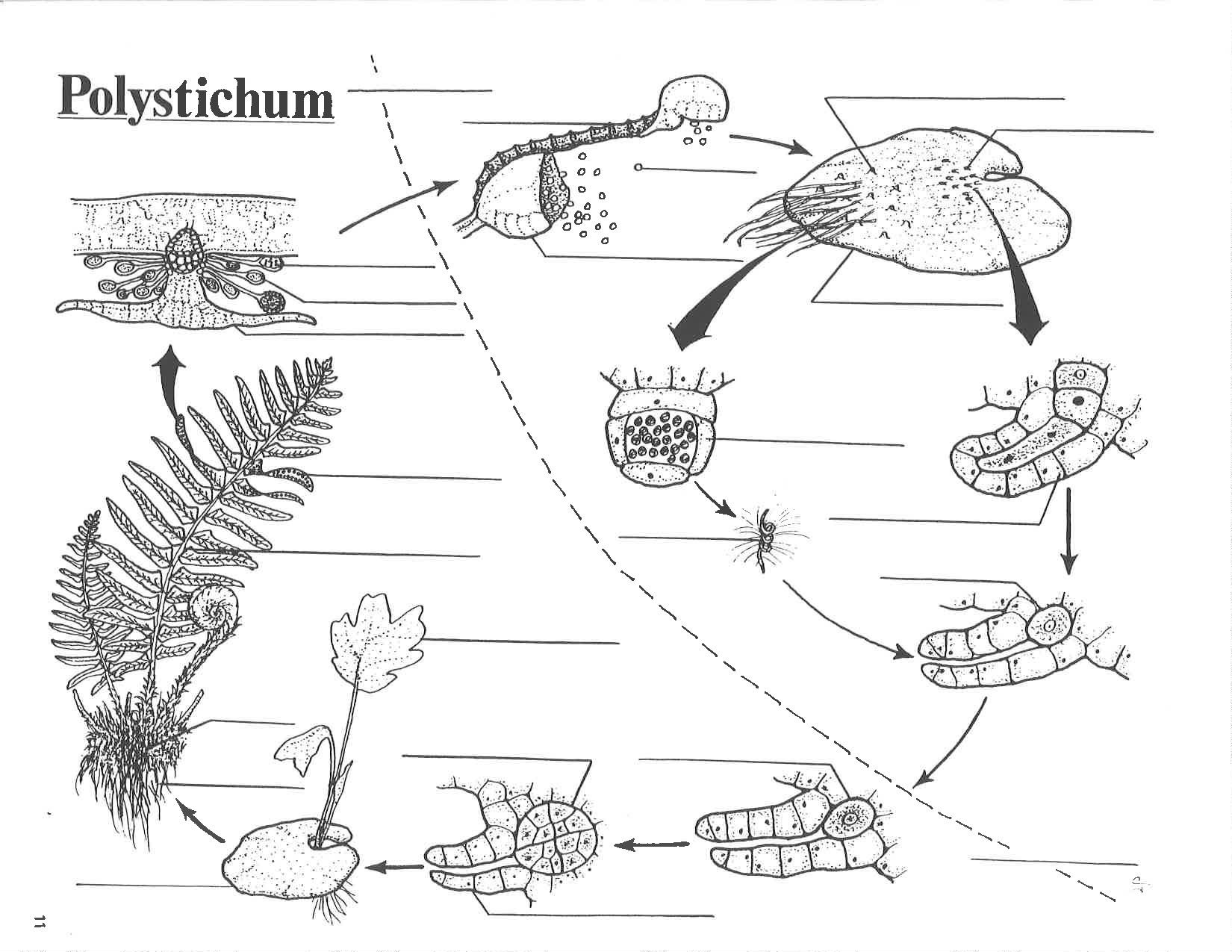 File Leptosporangiate Fern Life Cycle