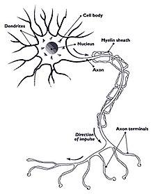 detailed neuron diagram johnson 115 v4 wiring اماس - ویکیپدیا، دانشنامهٔ آزاد