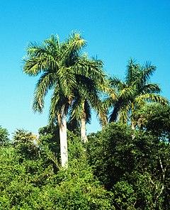 Roystonea regia di Florida