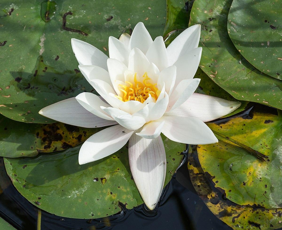lotus in water plant diagram toyota fujitsu ten 86100 wiring nymphaea lily alba wikipedia