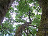 Canopy (biology) - Wikipedia
