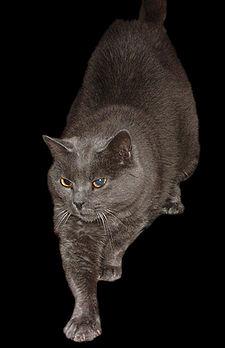 沙特爾貓 - 維基百科,自由的百科全書