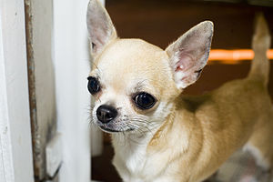 My smallest chihuahua dog from Rome, Italy