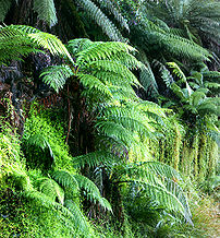 Dicksonia antarctica, a species of tree fern.