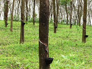 Large rubber plantations are generally seen al...