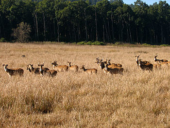 Spotted deer group in Jim Corbett national par...