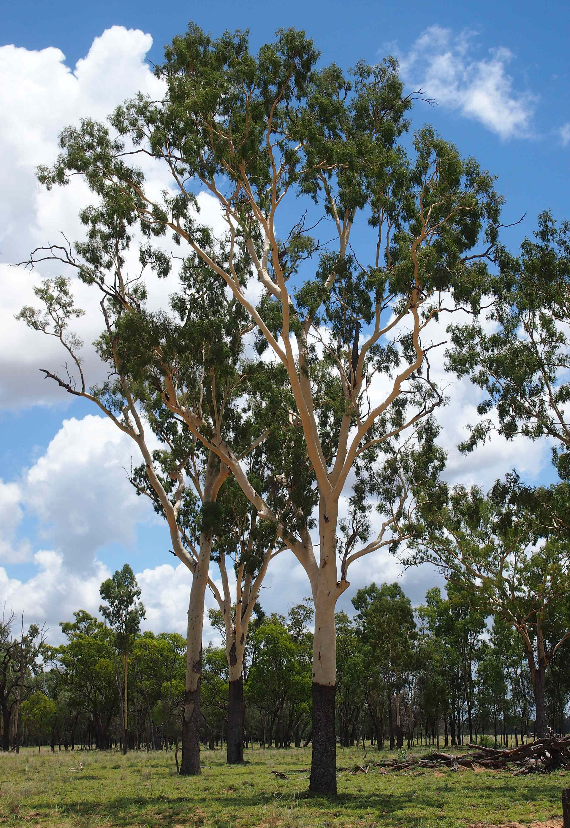 Smooth Eucalyptus Species