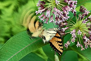 Swallowtail Butterflies on flowers at in Colle...