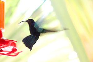 Purple-throated Carib hummingbird (Eulampis ju...
