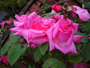 English: Pink roses in the garden