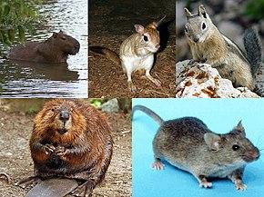 Rodent - Wikipedia