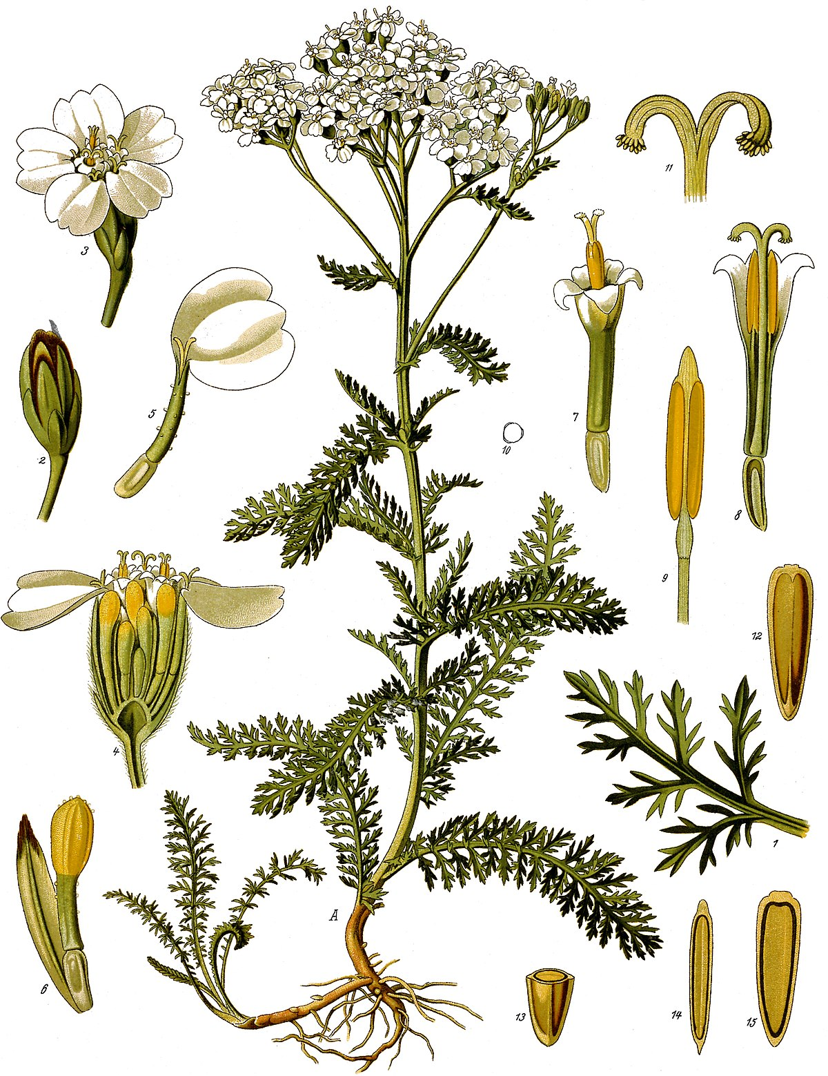 horsetail plant diagram fluro light wiring australia krwawnik pospolity  wikipedia wolna encyklopedia