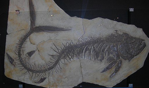Fossil Xiphactinus audax