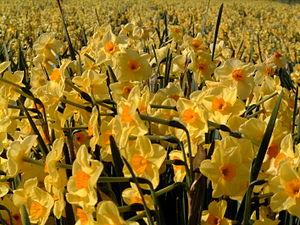 "English: Narcissus ""Golden Dawn"" gro..."