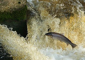 English: Leaping Sea Trout A sea trout leaping...