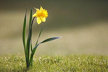 Wild daffodil Deutsch: Gelbe Narzisse Español:...