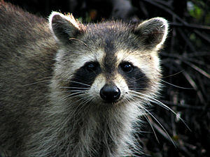 English: Raccoon - Jonathan Dickinson State Park.