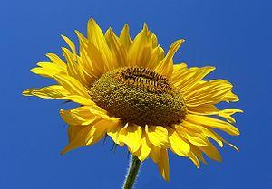 Sunflower (Helianthus L). Słonecznik