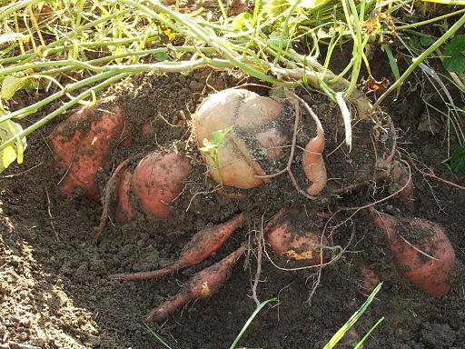 Sweet potatoes exposed - DSCF7299