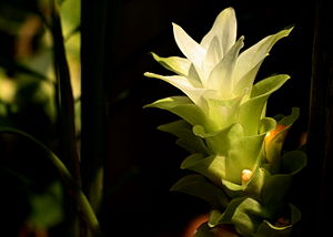 English: A variety of Turmeric Flower found in...